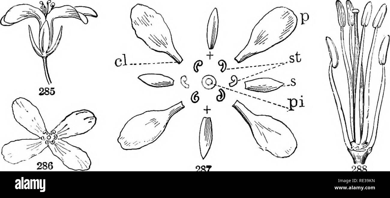 . A practical course in botany, with especial reference to its bearings on agriculture, economics, and sanitation. Botany. THE FLOWER 203 many of each are there, and how do they alternate with one another? Sketch the pistil and stamens as they stand on'. 287 288 Figs. 285-288. —A flower of the cress family: 285, side view; 286, view from above ; 287, diagram of parts: p, petals ; s, sepals; st, stamens; pi, pistil; cl, claw of petal; +, +, position of the missing stamens ; 288, pistil and stamens, enlarged. (After Gkat.) the receptacle; how many of the latter are there ? Notice that two of the - Stock Image