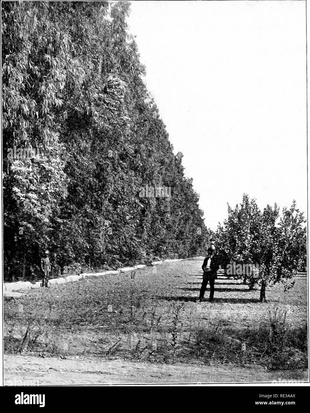 . Introduction to botany. Botany. TBIP.ER; FORESTRY 117. Fiu. 98. Evergreen windbreak of Eucalyptus sheltering a California lemon orchard Photograph hy United States Forest Service Many trees, as oaks, chestnuts, and birches, sprout freely from the stump, and in this way woodlands that have been cut away are renewed much more quickly than they could be by the growth of young trees from the seed. Often it is found. Please note that these images are extracted from scanned page images that may have been digitally enhanced for readability - coloration and appearance of these illustrations may not  - Stock Image
