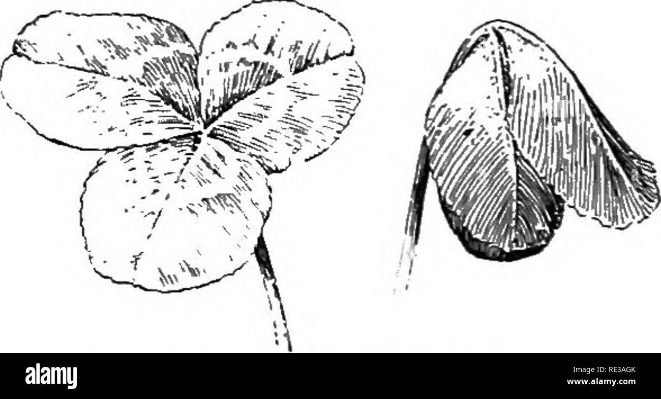 . Introduction to botany. Botany. Fig. 60. Branch of Eucalyptus, with leaves hanging almost vertically downward About one fourth natural size. After Bonnier and Sablon 75. Daily movements of leaves. Any one who walks through a clover field at dusk is likely to be struck with the peculiar pale appearance of the leaves, very different from the dark- green color which they have in full sunshine. This paleness is due to the fact that as the daylight fades the leaflets droop, as shown in figure 61, so that little except the under surfaces are seen. A large propor- tion of the plants of the Pea fami - Stock Image