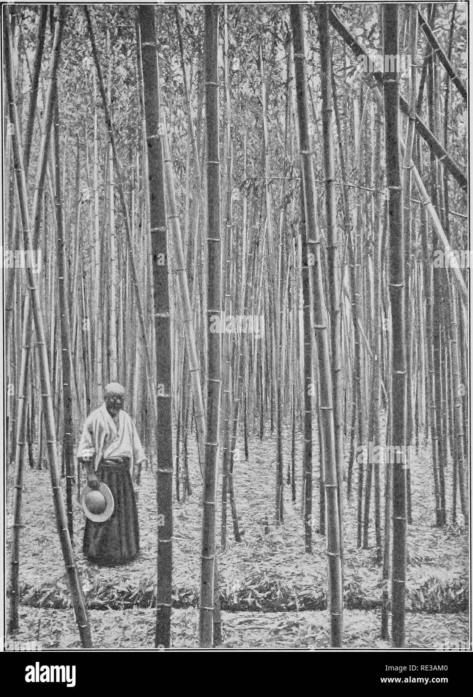 . A practical course in botany, with especial reference to its bearings on agriculture, economics, and sanitation. Botany. THE STEM 99. Plate 4. — Forest of bamboo, showing the tall, straight, branchless habit of monocotyl stems.. Please note that these images are extracted from scanned page images that may have been digitally enhanced for readability - coloration and appearance of these illustrations may not perfectly resemble the original work.. Andrews, Eliza Frances, b. 1840; Lloyd, Francis Ernest, 1868-1947. ed. New York, Cincinnati [etc. ] American book company - Stock Image