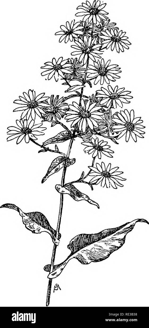 . Familiar flowers of field and garden;. Botany. 230 FAMILIAR FLOWERS OP FIELD AND GARDEN. centers. The wavy-edged leaves have a variety of forms as they grow along the reddish stem ; the lowest ones are heart-shaped, and the upper ones have singularly flaring stems which clasp the main stalk of the plant; and those which adjoin the flower stems are small and sharply pointed. This variety flowers early in August. A. spectabilis is one of the prettiest of the Aster family, although its flower heads are few. It grows along the coast between New Hampshire and New Jersey, where the sandy soil is q - Stock Image