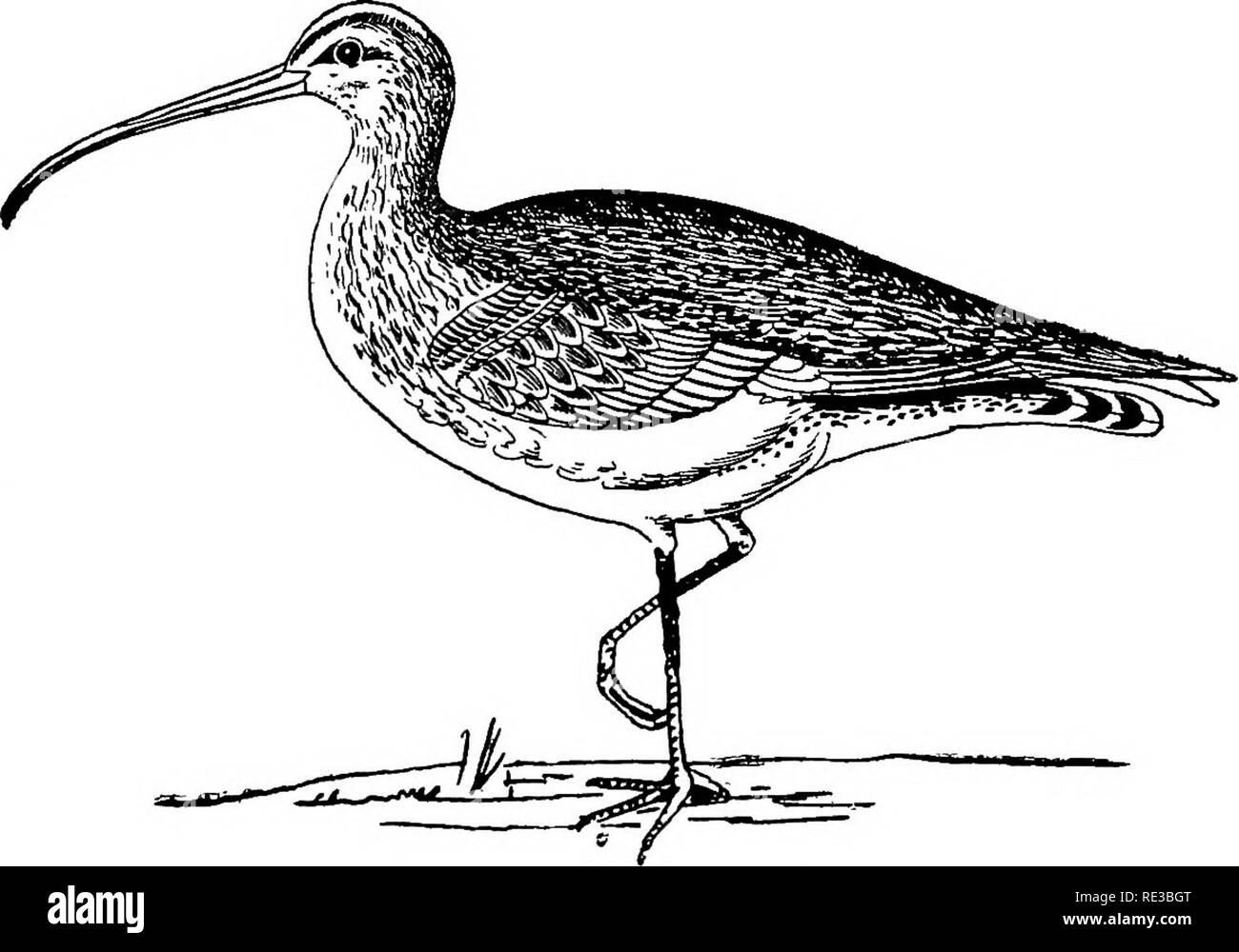 ". Nests and eggs of North American birds. Birds; Birds. 152 NBST8 AND EBOS OF [267.] WHUIBBEL. Nvmenius pbaopus (Linn.) Geog. Dist.—Old W«rW; •ecasional in Greenland. In England and Scotland this bird is known as Wtiimbrel Curlew, ""Half-Cur- lew,"" or Jaxik Curlew. It breeds throughout Northern. Europe and Asia. Though. pretty generally diffused in Great Britain, it is only found breeding in the extreme north of Scotland, on the Orkney and Shetland Islands, where the eggs are hatched by the first part of June. In these places the nests are made on elevated portions of the heath. Durin - Stock Image"