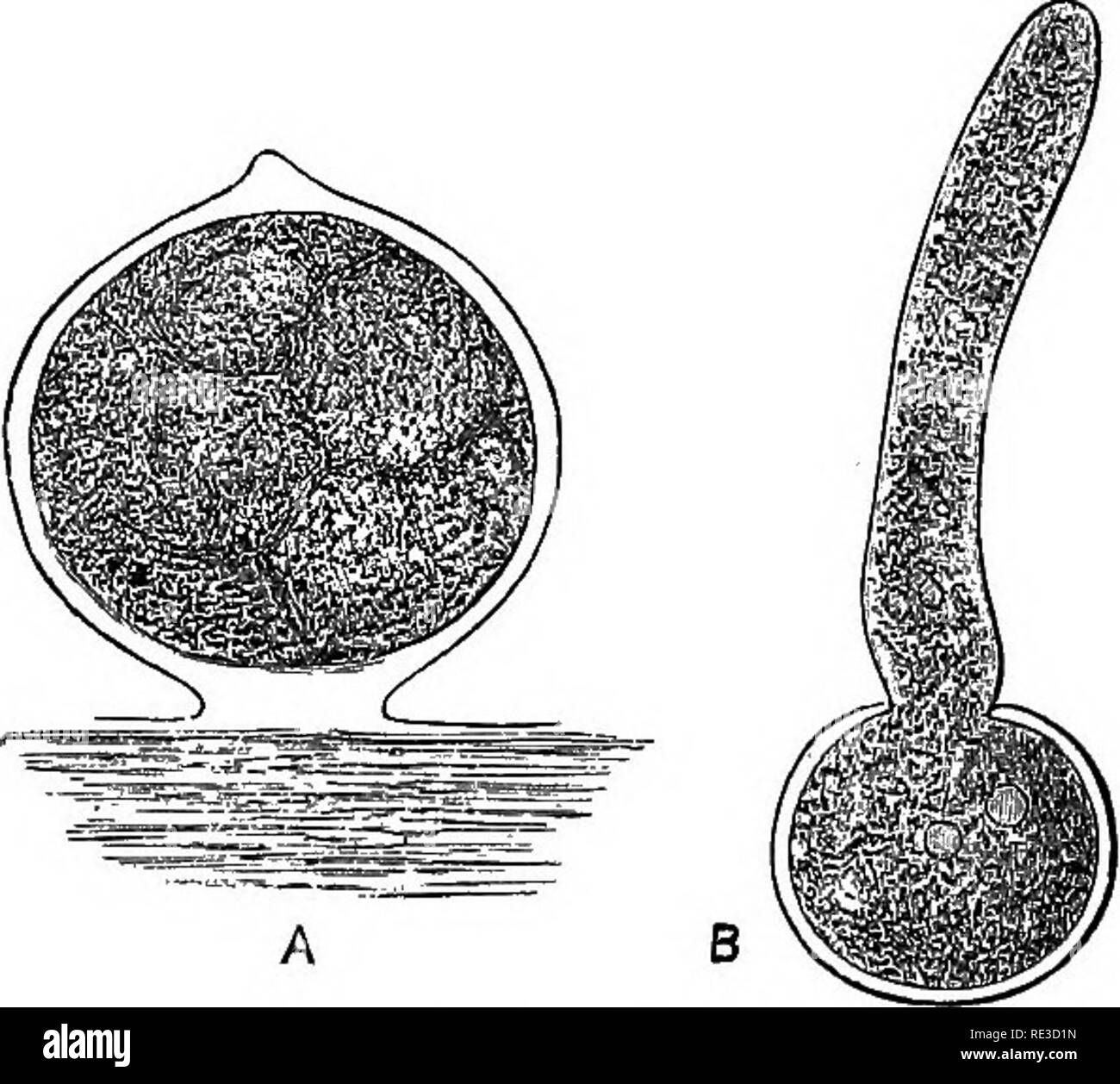 . A handbook of cryptogamic botany. Cryptogams. MULTINUCLEATA': 283 the germinating tube which springs directly from a zoospore. Most of the species are monoecious, and the oogones and antherids are usually found verj near together. The antherids are the terminal portions of slender branches, in some species straight, in others curved and more or less resembling horns or hooks. They contain but little chlorophyll, and the protoplasm breaks up into a large number of biciliated anthero- zoids, which escape through the ruptured apex. The two cilia are of unequal length, and point, one backwards,  - Stock Image