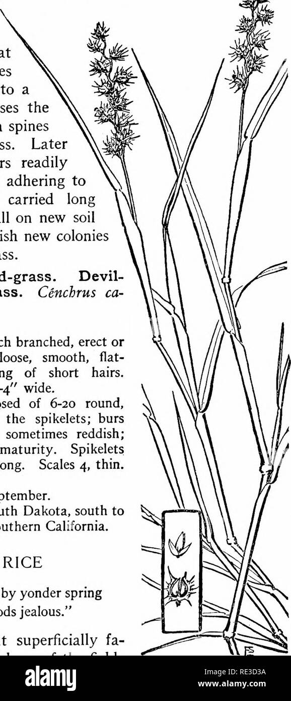 . The book of grasses; an illustrated guide to the common grasses, and the most common of the rushes and sedges. Grasses; Juncaceae; Cyperaceae. Illustrated Descriptions of the Grasses stems, and in the burs, which are really involucres enclosing the spikelets. Before the blossoming-head breaks from the sheath each involucre is short and cup-like, sur- mounted by broad green bristles, but at maturity these bristles are grown together into a hard bur which encloses the seeds and is beset with spines of needle-like sharpness. Later in the season the burs readily become detached and, adhering to  - Stock Image