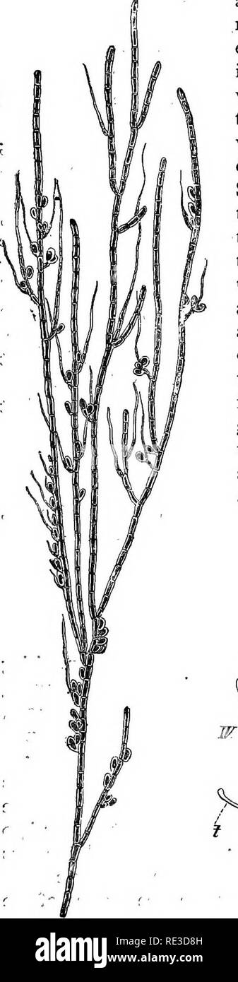 . A handbook of cryptogamic botany. Cryptogams. FLORmJ^JE â 213. apidal Cell, which divides by septa; the resulting cells do not divide further, but elongate and swell somewhat at each' end into a borje-shaped form, producing the whorled branches. From the basal cells of these branches secondary branches grow vertically downwards over the toain axis, pro- ducing the pseudo-cortex. According to Sirodot, absorption takes place only in special thin - walled cells ; the resting-cells, with thicker walls, Often display continuity of, pro- toplasm. In Nemalion and Batrachospernium the procarp is .un - Stock Image