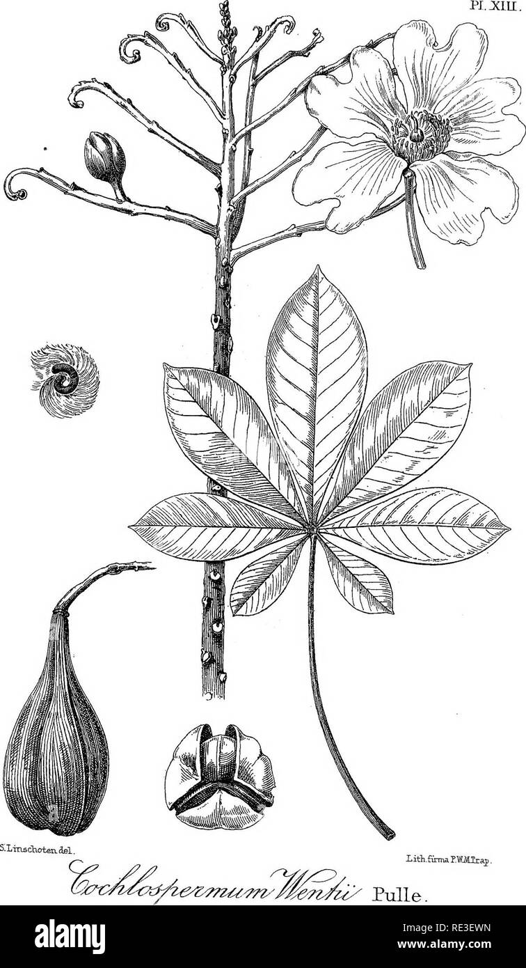 . An enumeration of the vascular plants known from Surinam, together with their distribution and synonymy. Botany. iith.fttmar.lMlraj. Pulle.. Please note that these images are extracted from scanned page images that may have been digitally enhanced for readability - coloration and appearance of these illustrations may not perfectly resemble the original work.. Pulle, August Adriaan, 1878-1955. Leiden, E. J. Brill - Stock Image