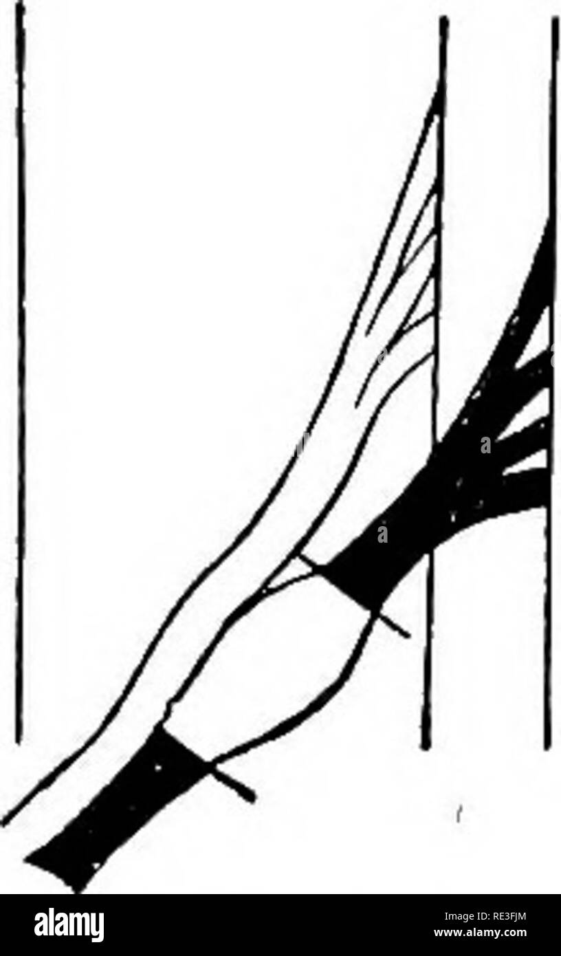 . The physiology of domestic animals ... Physiology, Comparative; Veterinary physiology. Fig. 330.—Diagram of the Roots of a Spinal Nerve showing the Effects of Section. (Landois.) The black parts represent the degenerated parts. A, section of the nerve-trunk beyond the ganglion; B, of the anterior root, and C, of the posterior root; D, excision of the ganglion; a, anterior, p, posterior roots; <7, ganglion. III. THE ELECTEICAL PHENOMENA IN NEEVES. As in muscles, evidence of the presence of a constant electrical current may be found in nerves. If a section of a nerve be removed from the bod - Stock Image