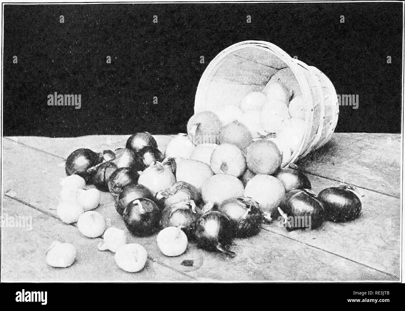 . Vegetable growing projects. Vegetable gardening; Project method in teaching. 232 VEGETABLE GROWING PROJECTS 1. What are the most favorable soil conditions for the growing of onions? W-VG:384. L:163. C: 310.. 2. What types of soil should be chosen, if possible, for the growing of onions? W-VG : 384. L : 163. C : 310.. Fig. 59. — A basket of onions suitable for exhibition purposes. Different color bulbs should not be displayed together. 3. What climatic conditions does the onion prefer ? W-VG : 383. L: 162. • 4. Where is this crop most largely grown for commercial purposes? C: 310. 5. What can Stock Photo