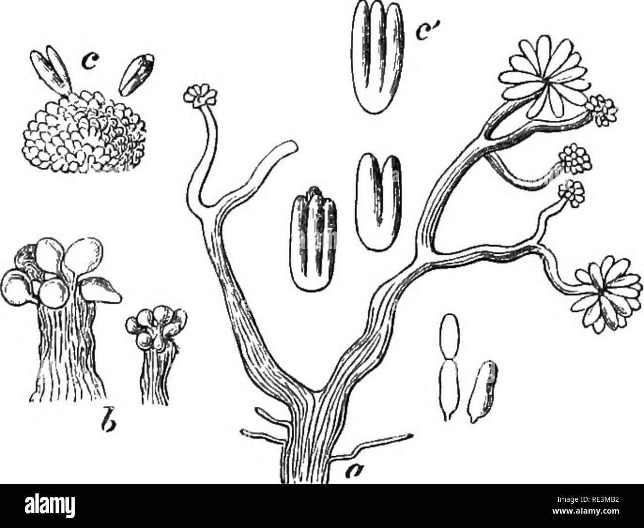 . Introduction to cryptogamic botany. Cryptogams. INTRODUCTION TO CRYPTOGAMIC BOTANY. gl3 belong to temperate climes. Few, however, are known except those which belong to Europe, North Africa, and the United States. A curious Epicoccum occurs in New Zealand.. Fig. 70. a. Chondromyces crocatus, Berk, and Curt., with its spores. Both magnified. From specimens on a decayed gourd from South Caro- lina. b. Stigmatella aurantiaca. Berk, and Curt. From specimens on SphcBria Hihisci, South Carolina. Magnified. c. Cheiromyces stellatus, Berk, and Curt. d. Spores of ditto. Both magnified. From specimens - Stock Image