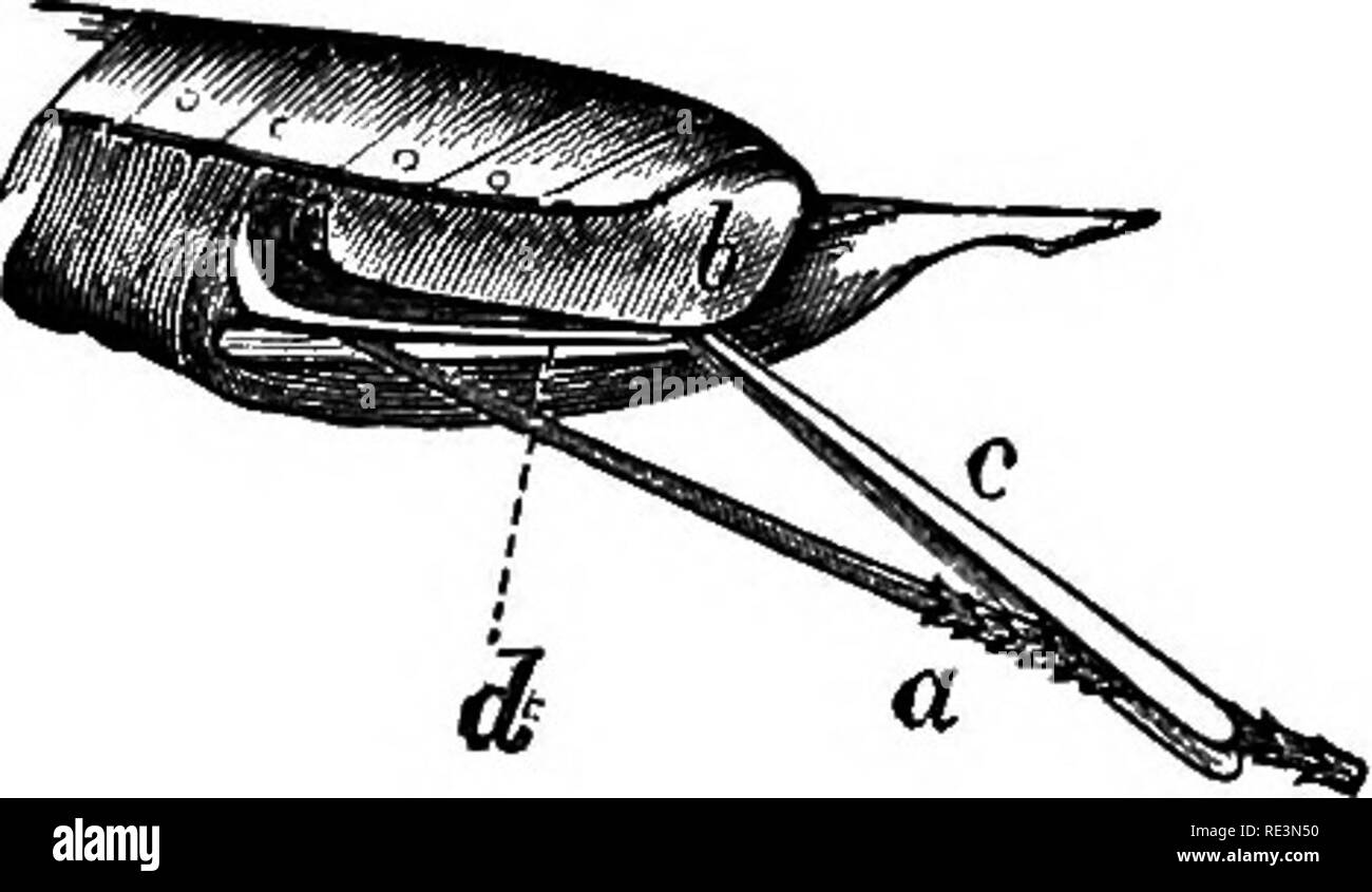 """. Text book of zoology. Zoology. 268 Arthropoda. never sunk into it; sometimes, indeed, it is situated on a stalk-like process of the protliorax. The usual mouth-parts are present, and of these, the mandibles are powerful biting organs. In some Hymenop- tera—but these are in the minority—the """" tongue,"""" which is formed by the concrescence of the ligulse, is elongate and gutter-like ventrally, and surrounded by a tube formed of the long, flattened, labial palps and blades of the first maxillae (only a single blade of each being present); by means of the tongue and its sheath, sweet liq - Stock Image"""