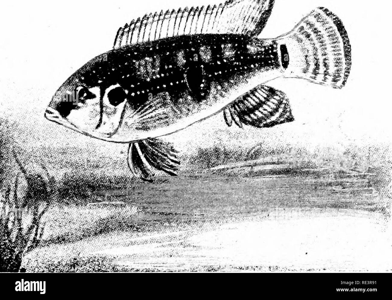 . Goldfish varieties and tropical aquarium fishes; a complete guide to aquaria and related subjects. Aquariums; Goldfish. Fig. 6j. The Chanchito (Hcros facctus) One of the most satisfactory of the Cichlid group of fishes. They will survive in moderately cool water and are not so savage as other members of the group. The breeding habits and family life of a mated pair are most interesting to watch. The upper figure shows the more rounded dorsal fin of the female, although it is not always so pronounced as shown here. See pages 254 (B 5) and 261 (N 6). .^^. Viy. 64. Hcmichroniis himm-uUita (Thrr Stock Photo