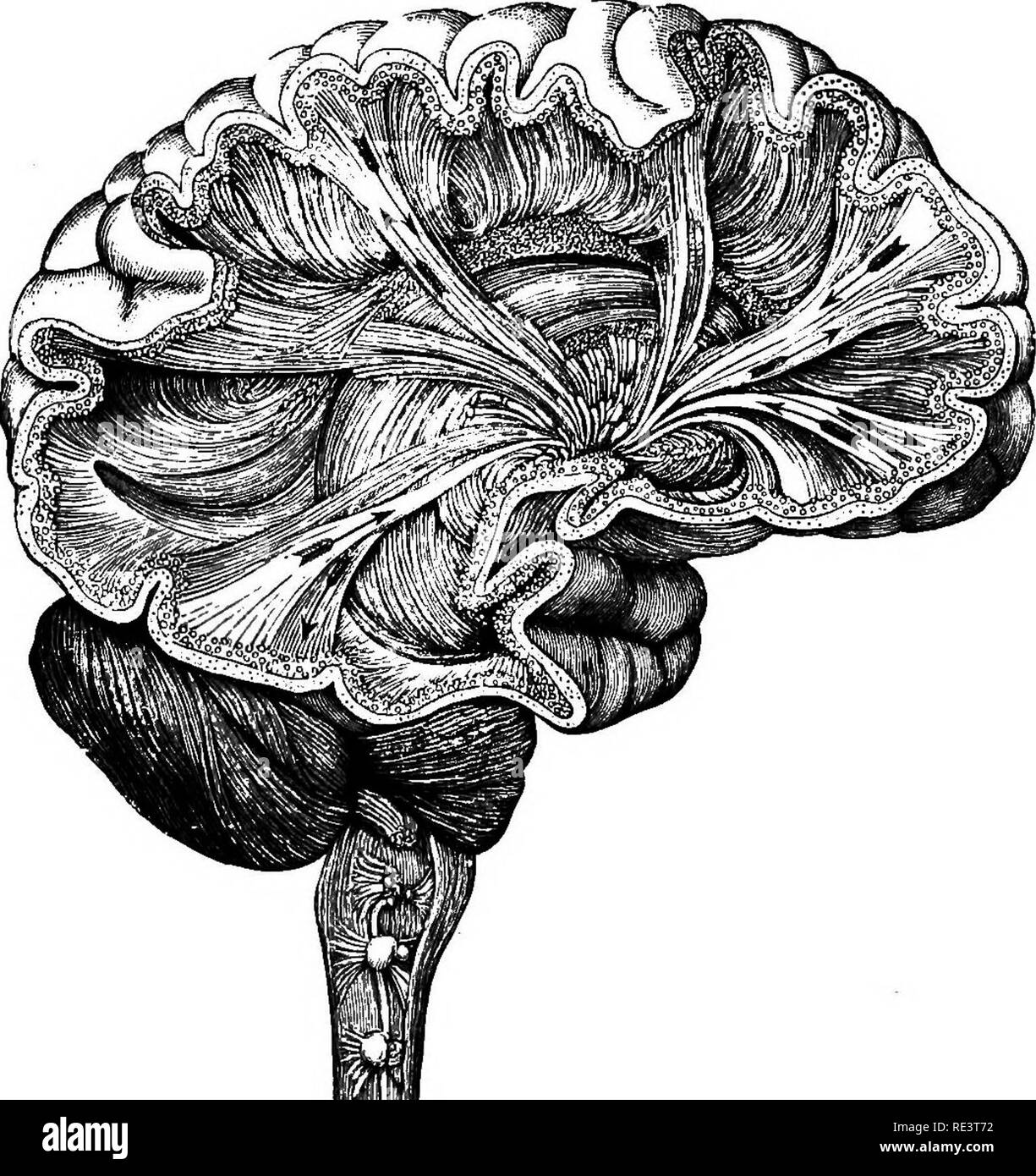 Different Parts Of The Brain Stock Photos & Different Parts