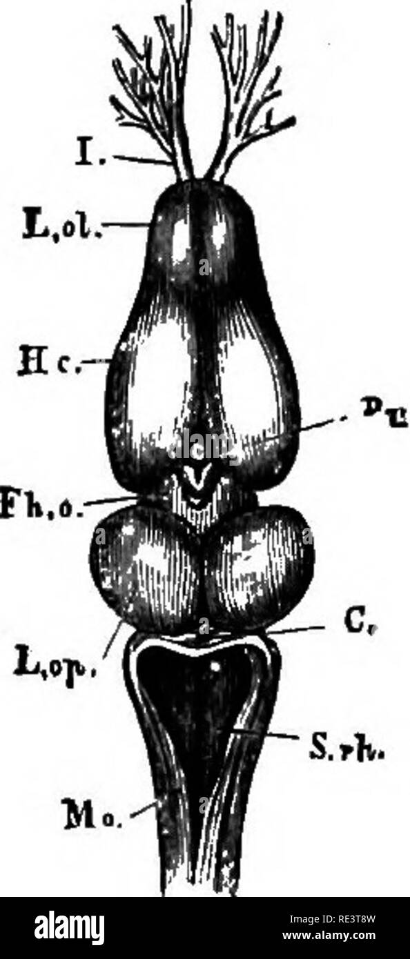 ". A text-book of animal physiology, with introductory chapters on general biology and a full treatment of reproduction ... Physiology, Comparative. Fig. 361. Fia. .360. Fig. 360.—Brain of the pilce, viewed from above (Huxley). A, the olfactory nerves or lobes, and beneath them the optic nerves ; B, the cerebral hemispheres ; C, tlie optic lobes; Z), the cerebellum."" Fig. 361.—The brain of edible frog iRana esculenta). 1x4. (After Huxley.) L. ol, the rhinencephalon, or olfactory lobes, with 7, the olfactory nerves ; He, the cerebral hemi- spheres ; Fh. o, the thalamencephalon with the pine - Stock Image"