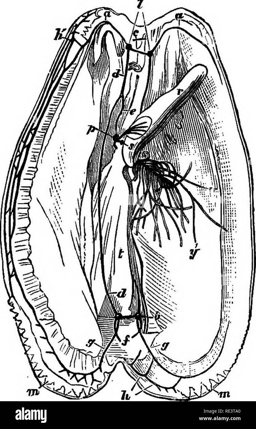 . A text-book of animal physiology, with introductory chapters on general biology and a full treatment of reproduction ... Physiology, Comparative. 506 ANIMAL PHYSIOLOGY. P^ ^1 m. Fig. 361. Fre. 350. Fig. 360.—Nervous system of medicinal leech (after Owen), a, double supra^oesophageal ganglion connected with rudimentary ocelli (6. b) by nerves ; c, double infra-oesophageal ganglionic mass, which is continuous with double ventral cord, having compound ganglia at regular intervals. Fig. .351.—Nervous system of the common mussel (after Owen). I, labial ganglia connected by a short commissure abo - Stock Image