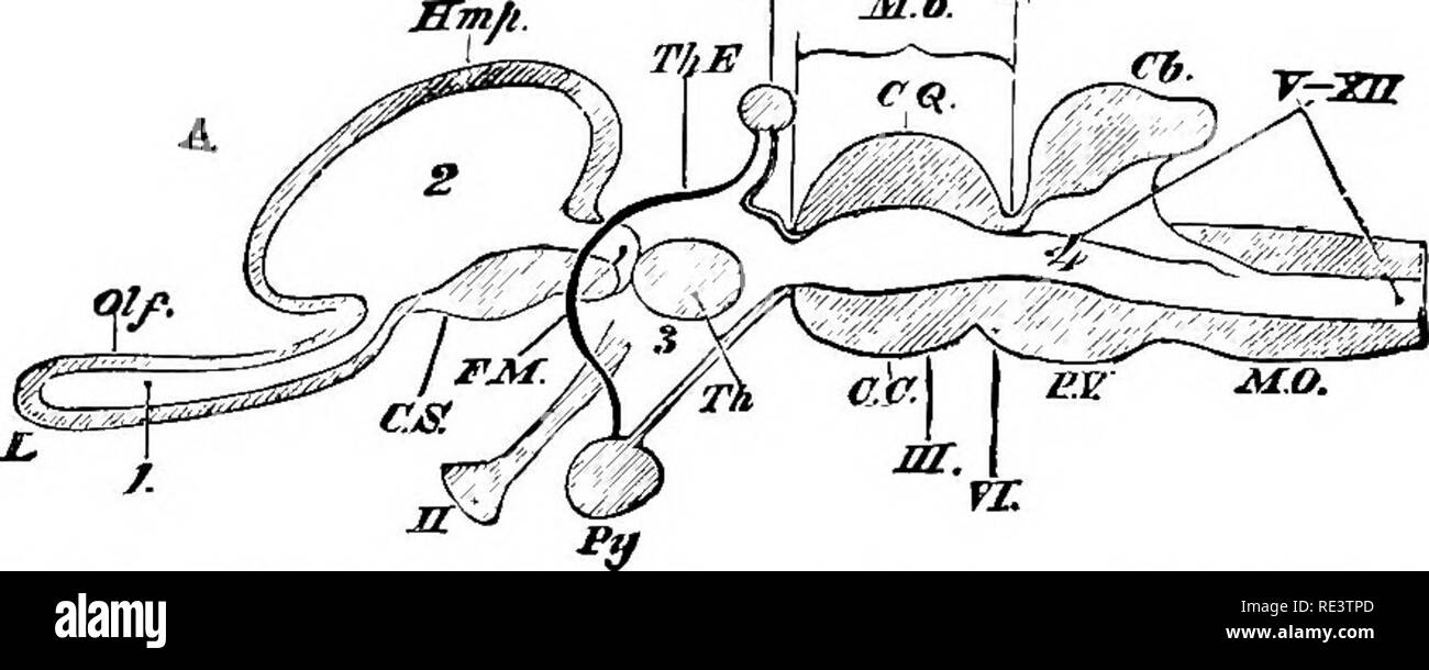 . The physiology of domestic animals ... Physiology, Comparative; Veterinary physiology. MS. ir. Fig. 344.—Diagram of the Cerebral Ves- icles of the Brain* of a Chick at the Second Day of In- cubation, after Ca- mat. (Yeo.) I, 2, 3, cerebral vesicles; 0, optic vesicles. Fig. 345.—Diagram of a Vertical Longitudinal Section of a Develofing Brain of a Vertebrate Animal showing the Relations of the Three Cerebral Vesicles to the Different Parts of the Aditlt Brain, after Huxley. (Yeo.) 01/, olfactory lobes: F.M, the foramen of Monro; C.S. corpns striatum; Tli, optic thalamus; Pit, pineal planus; J - Stock Image