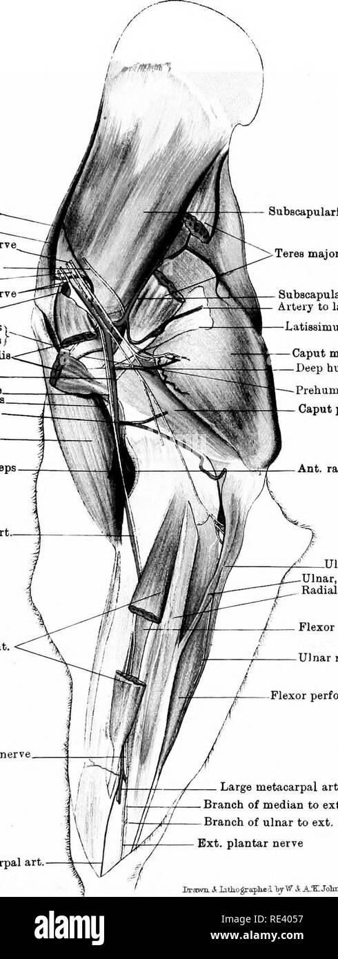 The Anatomy Of The Horse A Dissection Guide Horses Plate Vi