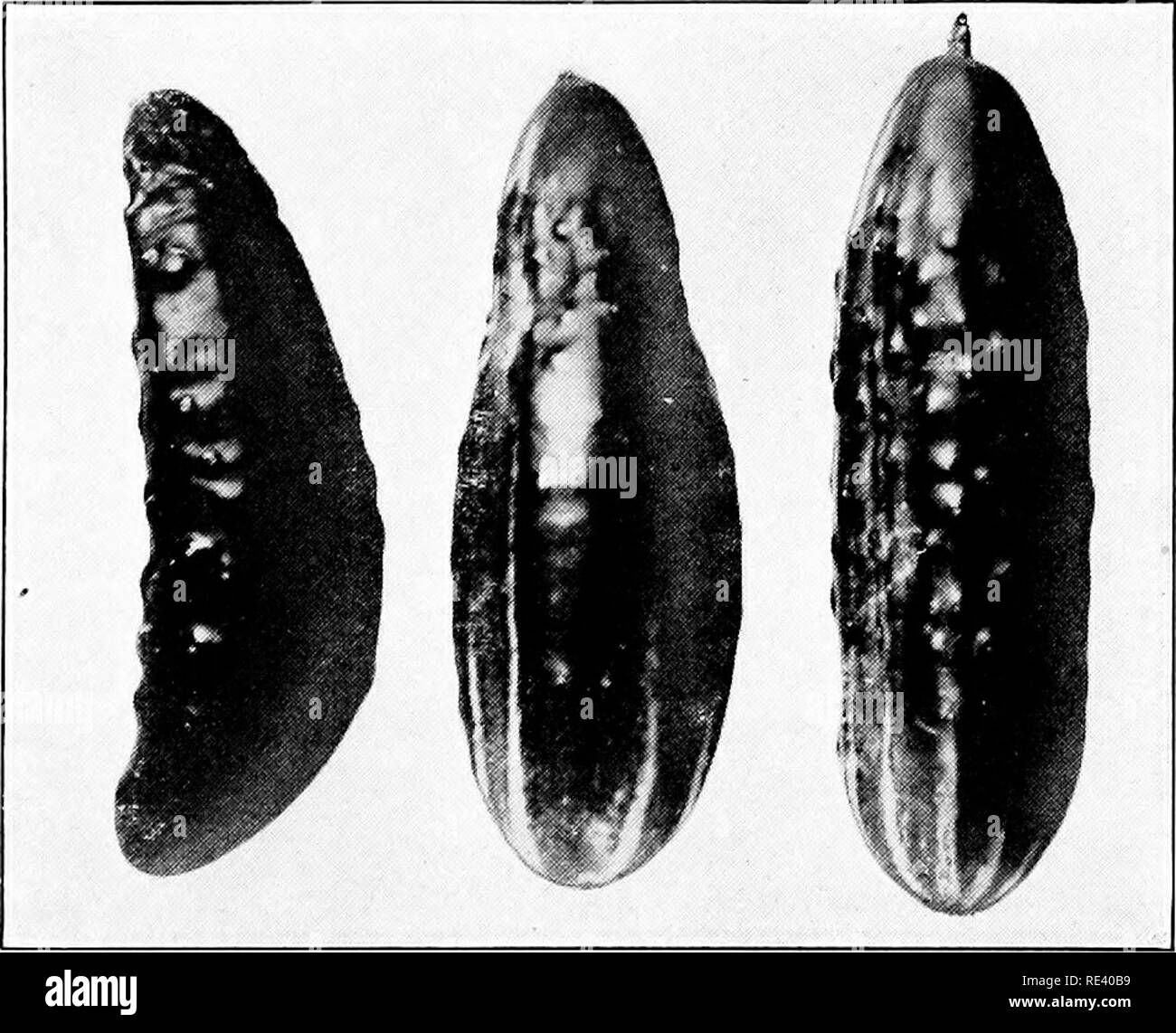 """. Vegetable forcing. Forcing (Plants); Vegetable gardening. CUCUMBER 341 should be waged on these pests, not only for the damage which they may inflict by feeding, but also as transmitters of these two diseases. Spraying is of no value for either of the wilts. Infected plants should be pulled up and burned. Greenhouse Mosaic Disease has been studied by Selby in Ohio. Concerning it he writes: """"This disease is analagous in character to the mosaic disease of tobacco and tomatoes and to the yellows of the peach. It is due to an oxidizing ferment in the leaves and is transmitted like the tobac - Stock Image"""