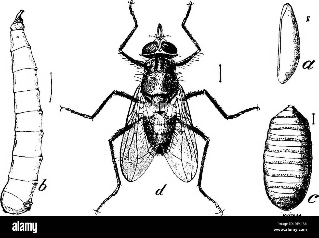 Handbook Of Medical Entomology Insect Pests Insects As Carriers Of Disease Medical Parasitology 3o8 Hominoxious Arthropods At Rest Cluster Flies P Rudis And Related Species Widely Distributed Pollenia R D G
