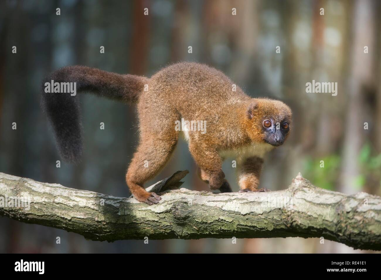 Red-bellied Lemur (Eulemur rubriventer), listed as Vulnerable by the IUCN 2009, endemic to Madagascar - Stock Image