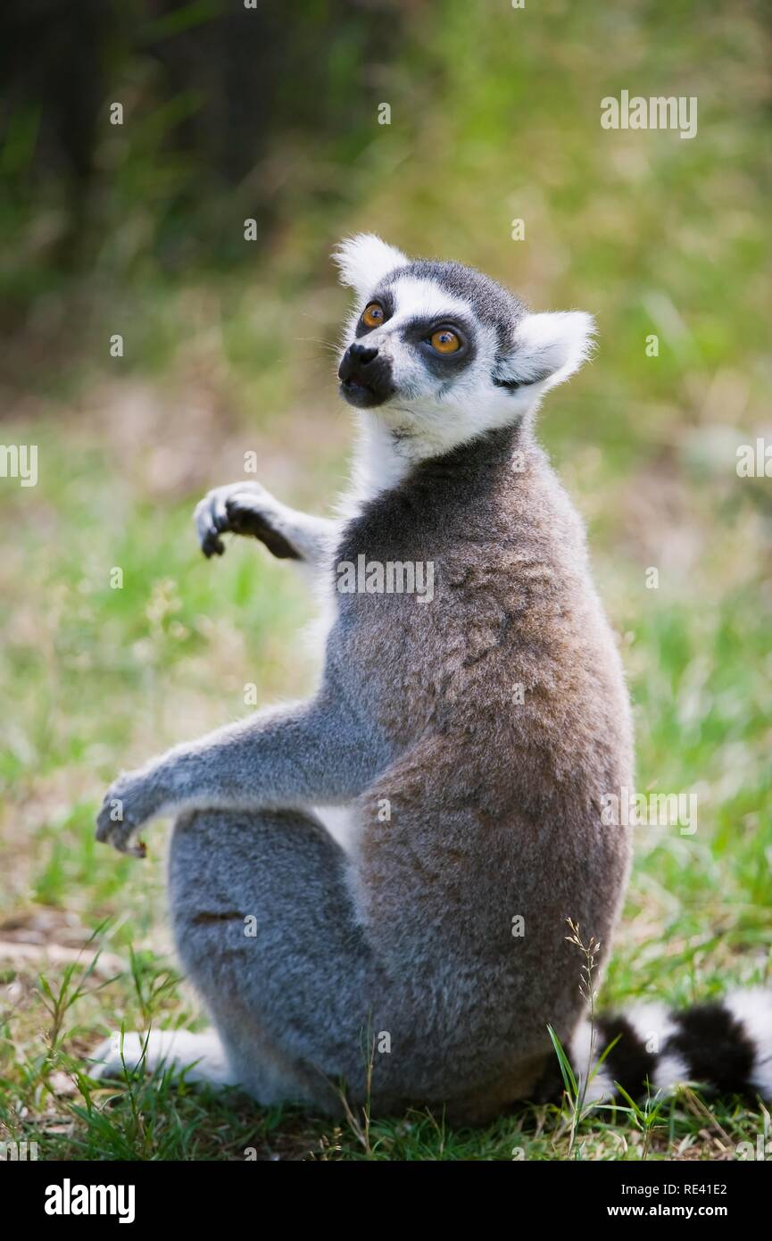Ring-tailed Lemur (Lemur catta), listed as Near Threatened by the IUCN 2009, endemic to Madagascar - Stock Image