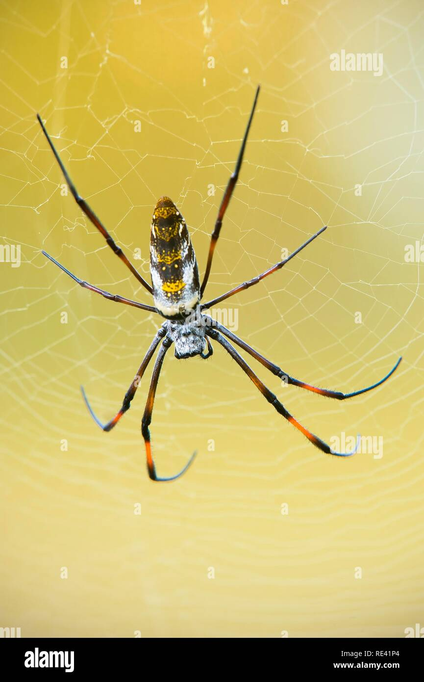 Golden orb-web spider (Nephila madagascariensis), Madagascar, Africa Stock Photo