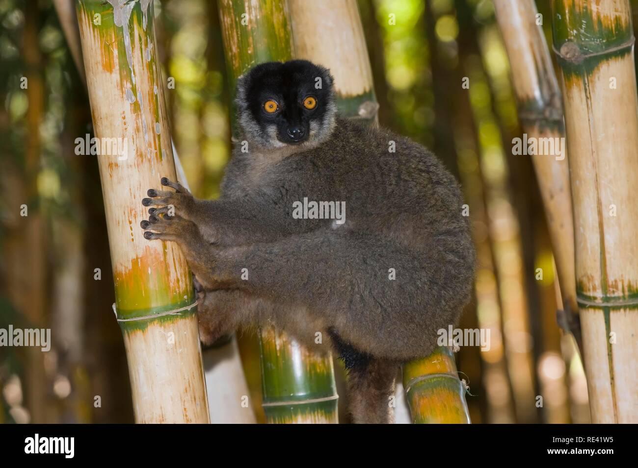 Common Brown Lemur (Eulemur fulvus), Near Threatened, IUCN 2008, Madagascar, Africa - Stock Image