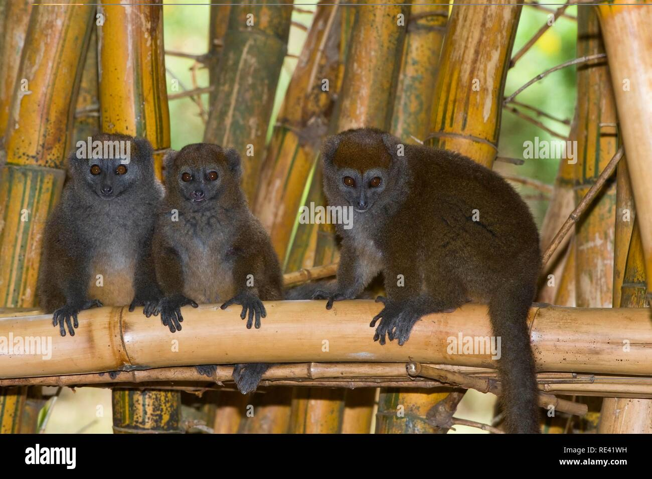 Eastern Lesser Bamboo Lemur also known as Gray Bamboo Lemur or Gray Gentle Lemur (Hapalemur griseus), endemic, Vulnerable - Stock Image