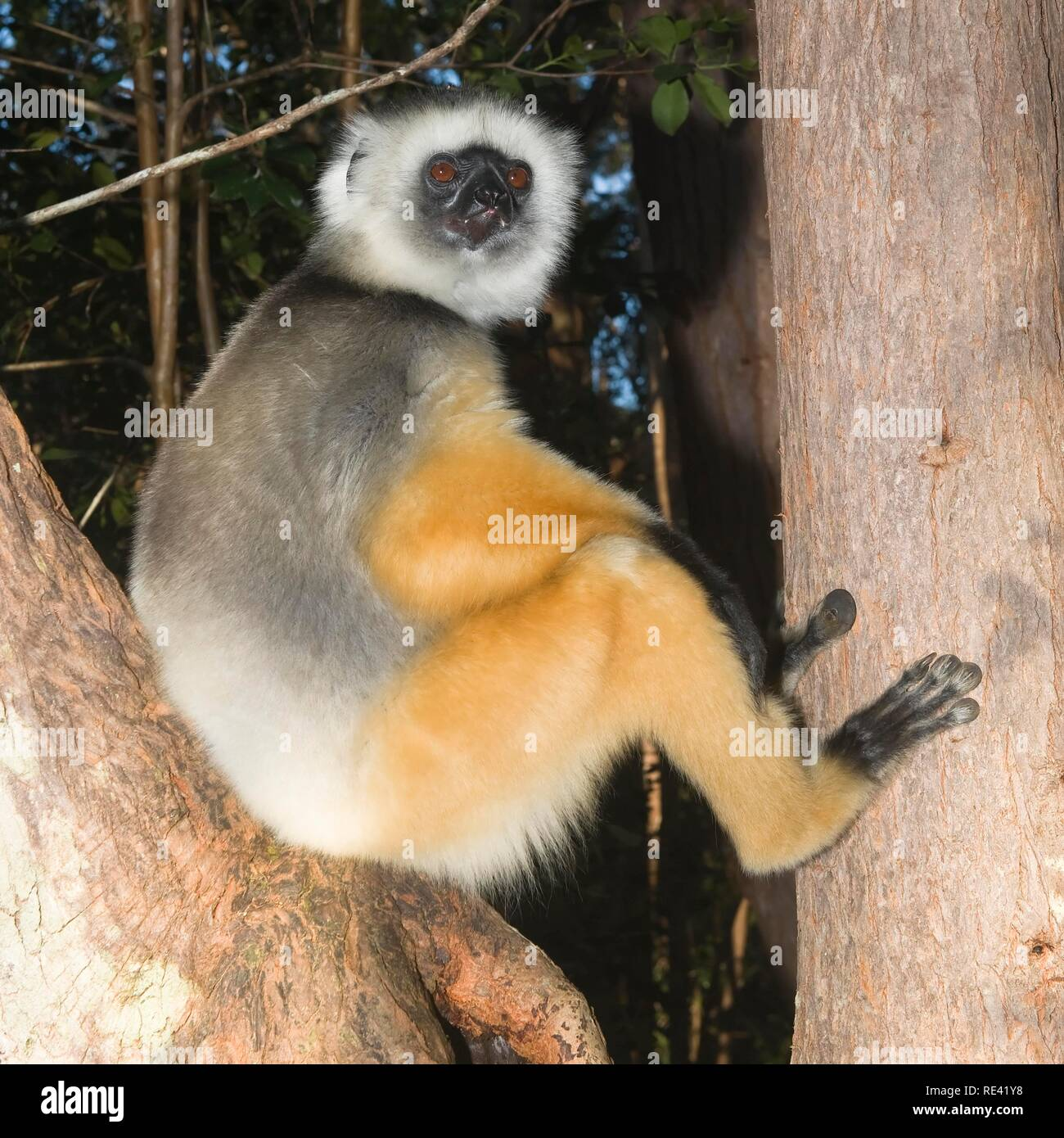 Diademed Sifaka (Propithecus diadema) in a tree, Endangered, IUCN 2008, Perinet Nature Reserve, Madagascar, Africa - Stock Image