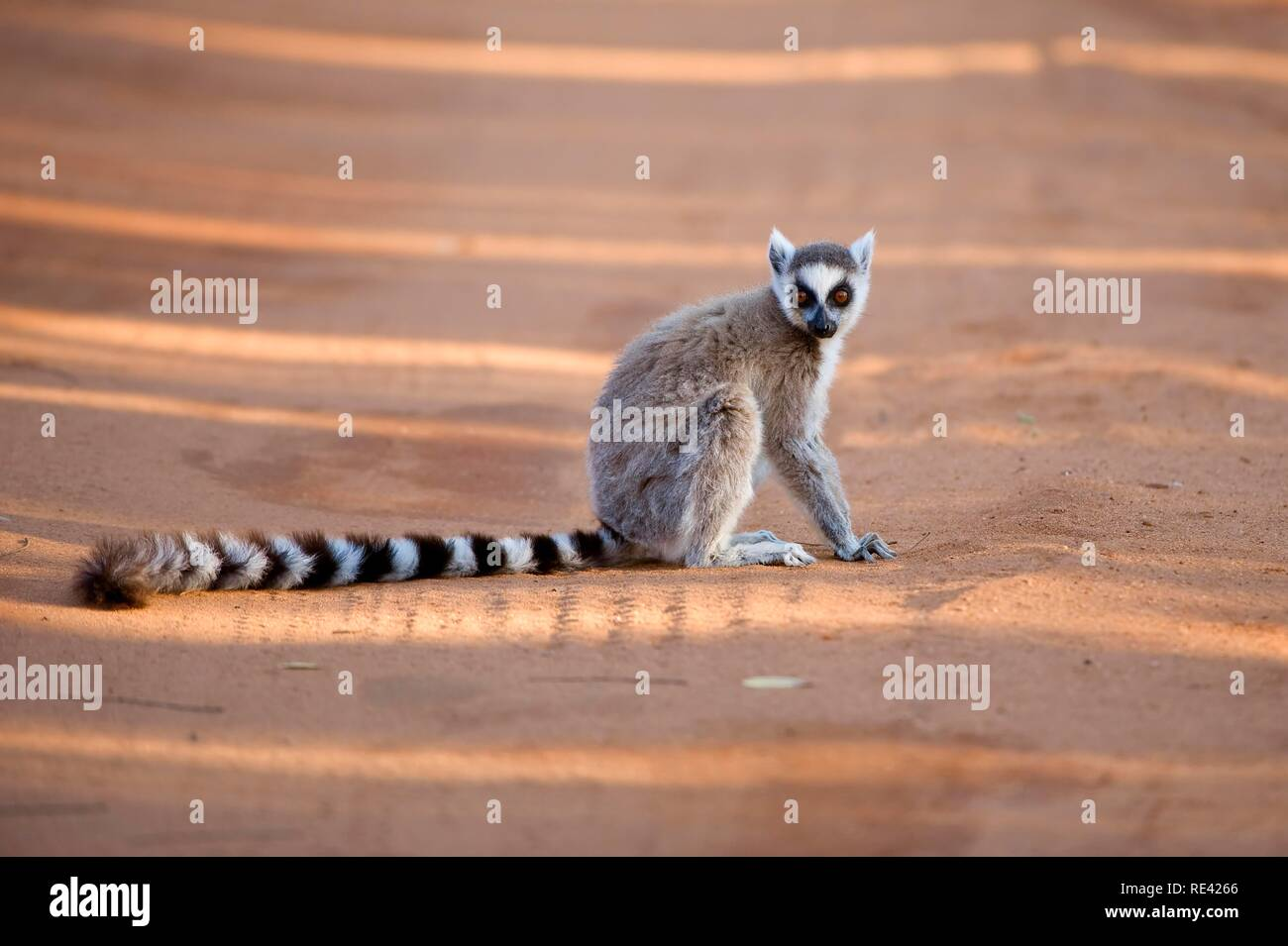 Ring-tailed Lemur (Lemur catta), Near Threatened, Berenty Nature Reserve, Madagascar, Africa - Stock Image