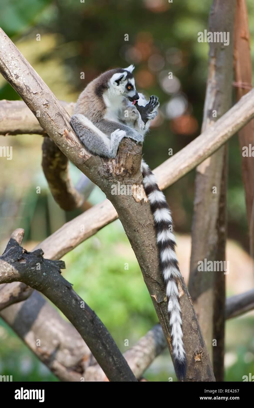 Ring-tailed Lemur (Lemur catta) in a tree, Near Threatened, Madagascar, Africa - Stock Image
