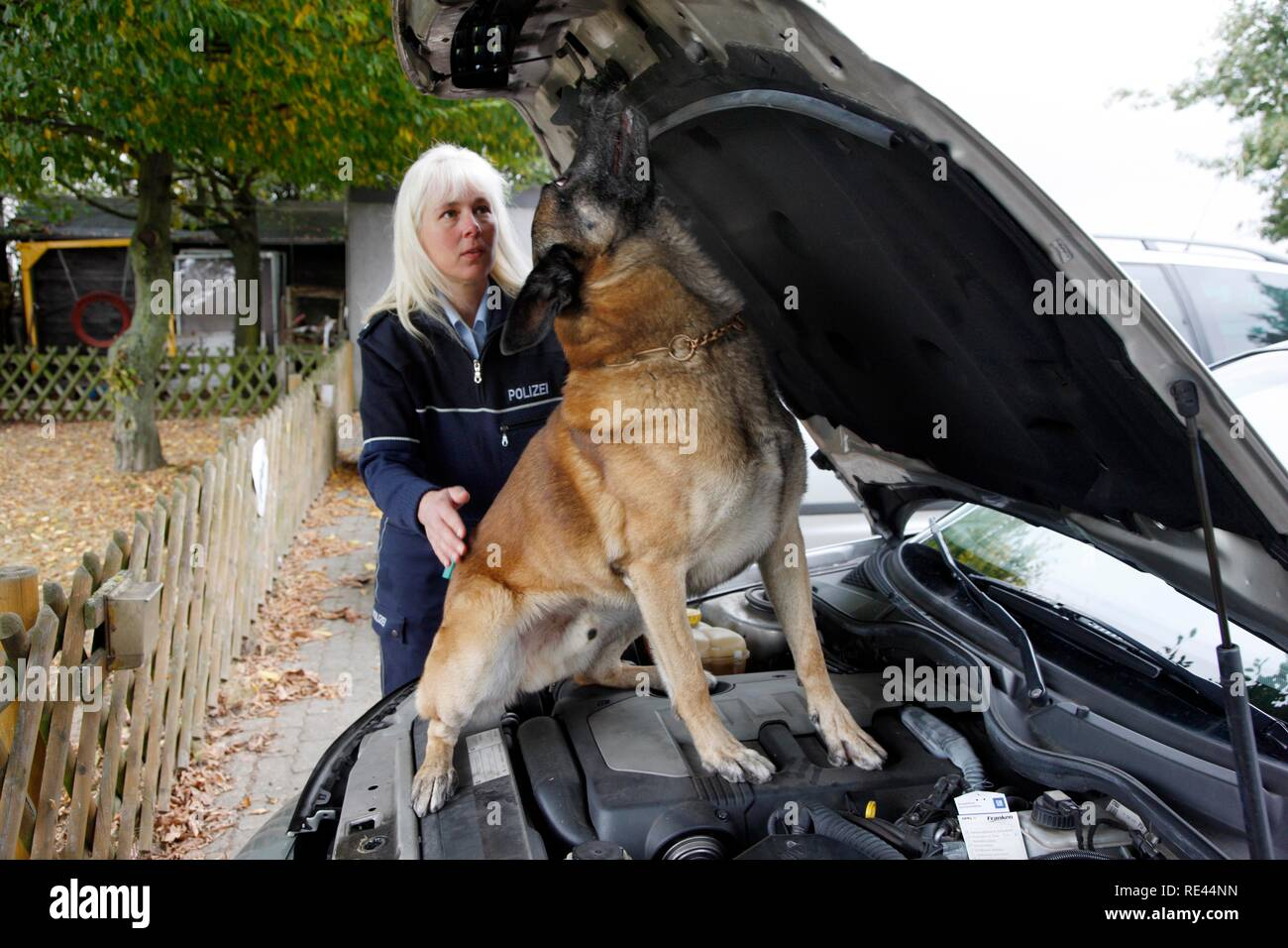 Police sniffer dog getting trained, searching for drugs in a vehicle - Stock Image