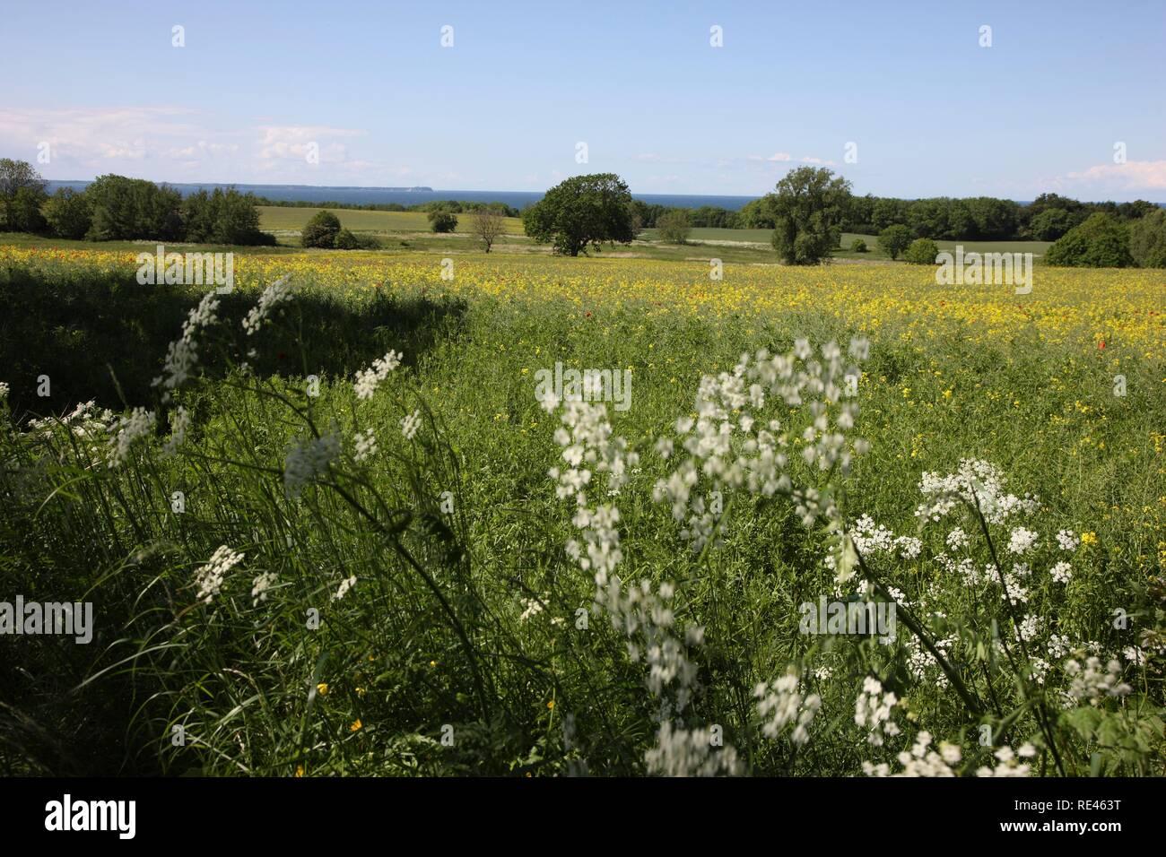Meadows on the Baltic coast on the Jasmund peninsula, northeast of the Ruegen island, Mecklenburg-Western Pomerania - Stock Image