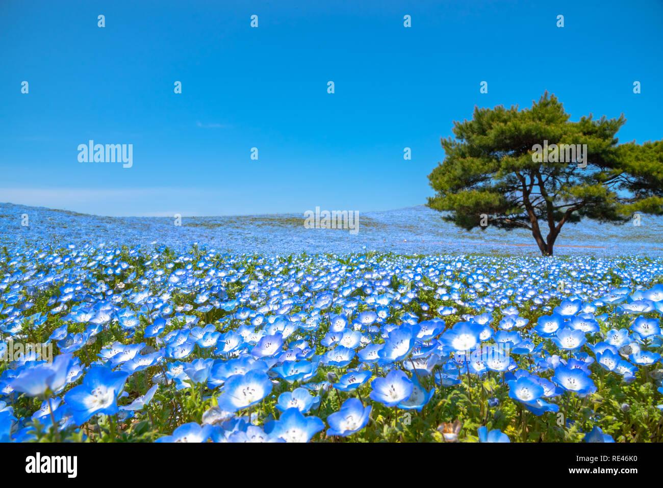 Mountain, Tree and Nemophila (baby blue eyes flowers) field