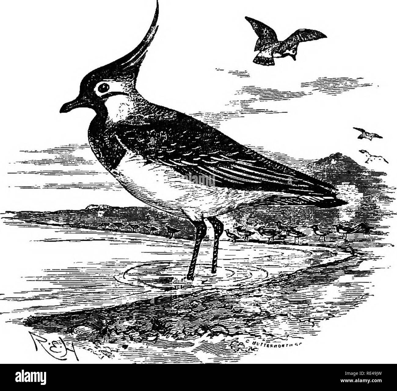 . The geographical distribution of the family Charadriidae, or, The plovers, sandpipers, snipes, and their allies . Shore birds. 210 VANELLUS. *^* Suhgeneric group Vanelli: with a hind toe but no spur. f Old- World Species.. VANELLUS CRISTATUS. COMMON LAPWING. Diagnosis. Vanellus supracaudalibus et subcaudalibus rufis : subalaribus nigris. Variations. Synonymy. Literature. Although the Common Lapwing is subject to considerable individual variation, especially in the amount of black on the throat and on the tail, it is impossible to distinguish examples from China and Japan from others obtained - Stock Image