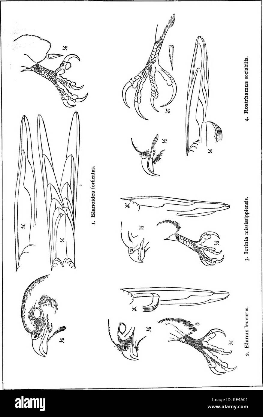 . A manual of North American birds. Birds. Plate LXV.. Please note that these images are extracted from scanned page images that may have been digitally enhanced for readability - coloration and appearance of these illustrations may not perfectly resemble the original work.. Ridgway, Robert, 1850-1929. Philadelphia, J. B. Lippincott Company - Stock Image