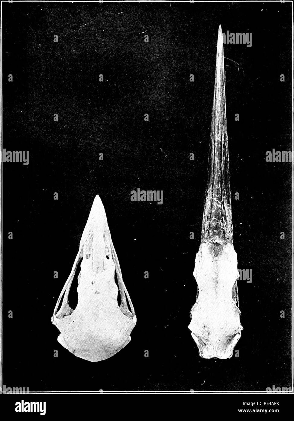 . The bird, its form and function. Birds. Muscles and Nerves 199 When we carefully remove the upper part of a bird's skull, we find that the brain occupies the whole interior,. Fig. 145.—Comparison of skulls of Heron and Hawk, showing unlikeness caused by difference in manner of procvning food. the shell or box of bone which protects it being very thin, although strong. It would be ver}- interesting if we could compare the short and thick bullet-shaped skull and brain. Please note that these images are extracted from scanned page images that may have been digitally enhanced for readability - c - Stock Image