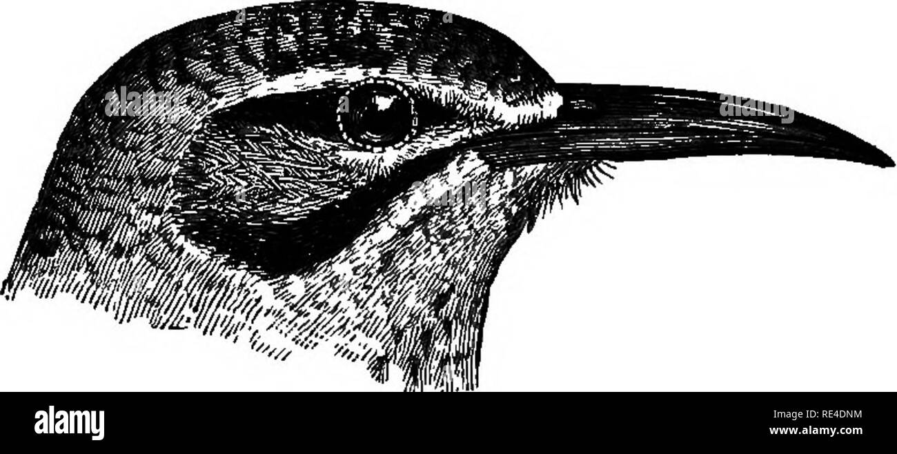 ". Birds. Birds. aljBmon. 317 b. Ten primaries, the first minute. c'. First primary large, considerably exceeding the primary-coverts, c"". Bill as long as, or longer than, the head, and very slender Al^bmon, p. 317. d"". Bill much shorter than the head, . and thick. a'"". Nostrils not covered by plumelets, but clearly visible Mirapra, p. 332. b'"" Nostrils quite concealed by dense plumelets Ammomanes, p. 3.39. d'. First primary very small, not exceeding the primary-coverts, e"". Crest, if any, short, and covering the â whole crown. d"". Hind claw long and straight, a*.  - Stock Image"