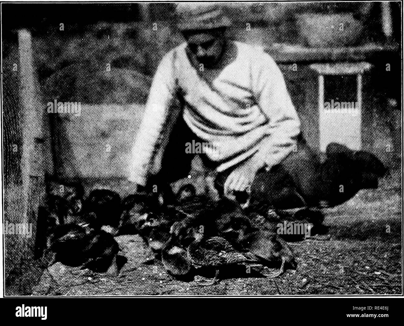 """. Propagation of wild birds; a manual of applied ornithology, treating of practical methods of propagation of quails, grouse, wild turkey, pheasants, partridges, pigeons and doves, and waterfowl, in America, and of attracting and increasing wild birds in general, including song-birds. Game and game-birds; Birds. Son of author, G. Curtiss Job, on Manitoba expedition, feeding """"wild"""" ducklings—gadwalls, redheads, scaups, etc.. Please note that these images are extracted from scanned page images that may have been digitally enhanced for readability - coloration and appearance of these il - Stock Image"""