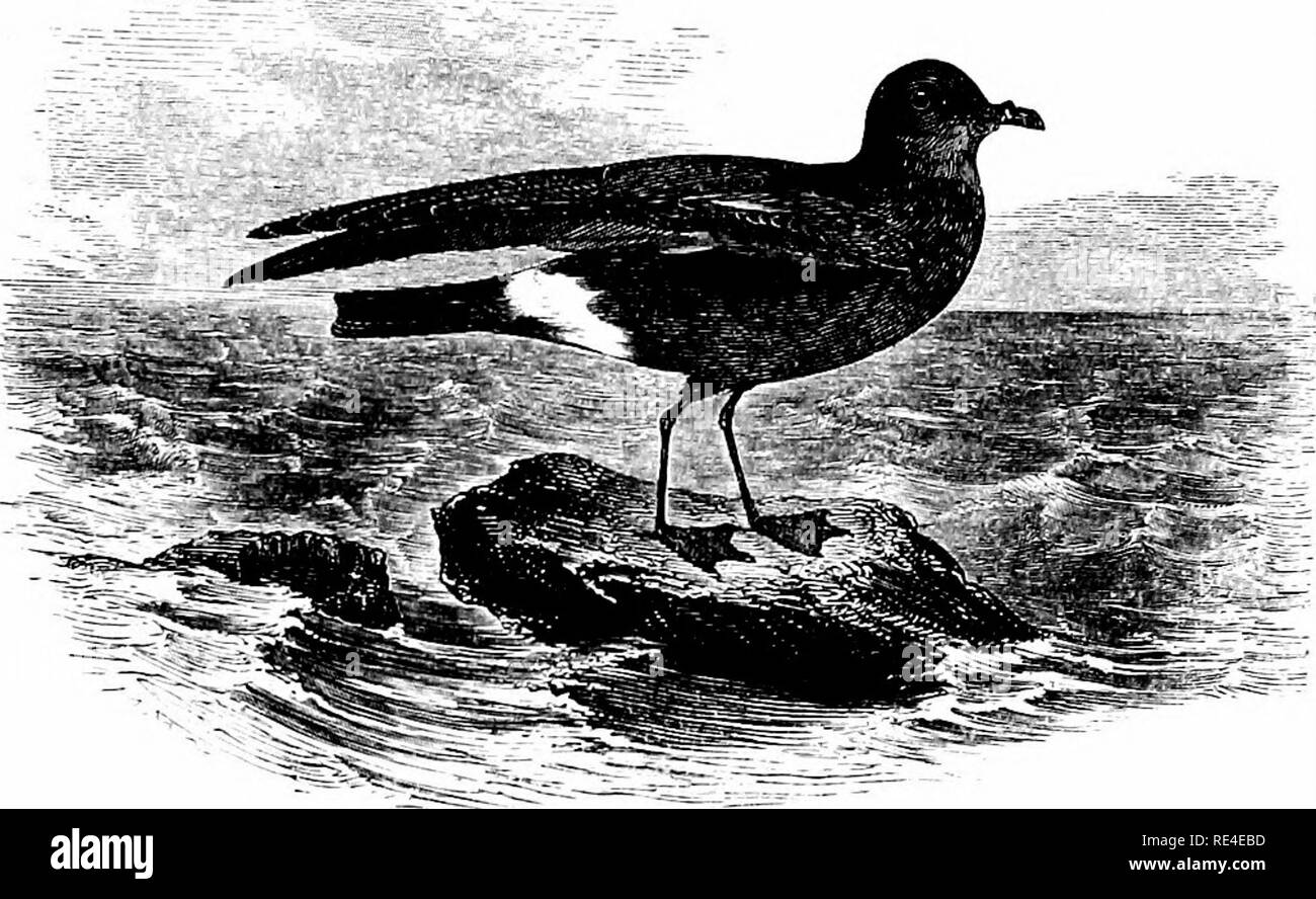 """. An illustrated manual of British birds. Birds. PROCELLARIID/E. 727. THE STORM-PETREL. ProcellAria pelagica, Linnsus. The Storm-Petrel is generally distributed throughout British waters; and during rough weather it is often met with inland, especially at the time of the autumnal migration, when individuals are frequently taken whilst fluttering against the lanterns of light-houses and light-ships. Unusual numbers occurred between October 27th and November 4th 1883 on the east side of England; and in 1886, according to Mr. Harvie-Brown, """"a regular stream of migration of Petrels seems to h - Stock Image"""