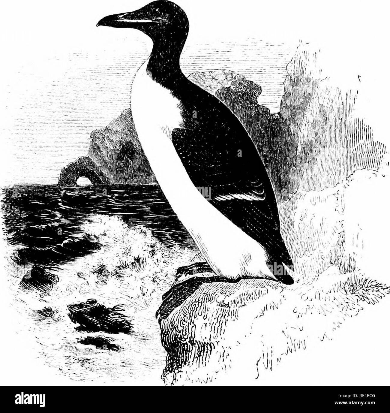 . An illustrated manual of British birds. Birds. ALCIN^. 701. BRUNNICH'S GUILLEMOT. Uria bruennichi, E. Sabine. This species may be distinguished from the preceding by its larger size, as well as by its stouter and deeper bill, for which reason it has been called the Thick-billed Guillemot; it is also blacker in plumage on the upper-parts. It was originally included in the British list upon somewhat slight evidence, for no competent observers had met with it on the coasts of Ireland, the Shetlands, the St. Kilda group, or in other places where it was said to have occurred; though it seemed pro - Stock Image