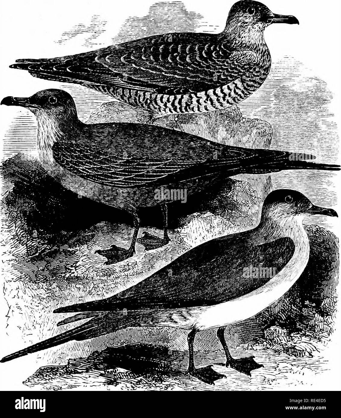 . An illustrated manual of British birds. Birds. STERCORARIin.T.. 691. THE ARCTIC or RICHARDSON'S SKUA. Stercorarius crepidAtus (J. F. Gmelin). The second English name is strictly applicable to a dark form of this bird ; but it is often employed and has the merit of being dis- tinctive, whereas the first has occasionally been conferred on the next species. The Arctic Skua breeds on most of the Shetlands, and has several colonies in the Orkneys, while on the mainland it may still be found in Sutherland and Caithness; it also nests at a few spots in the Outer Hebrides, and sparingly on two or th - Stock Image