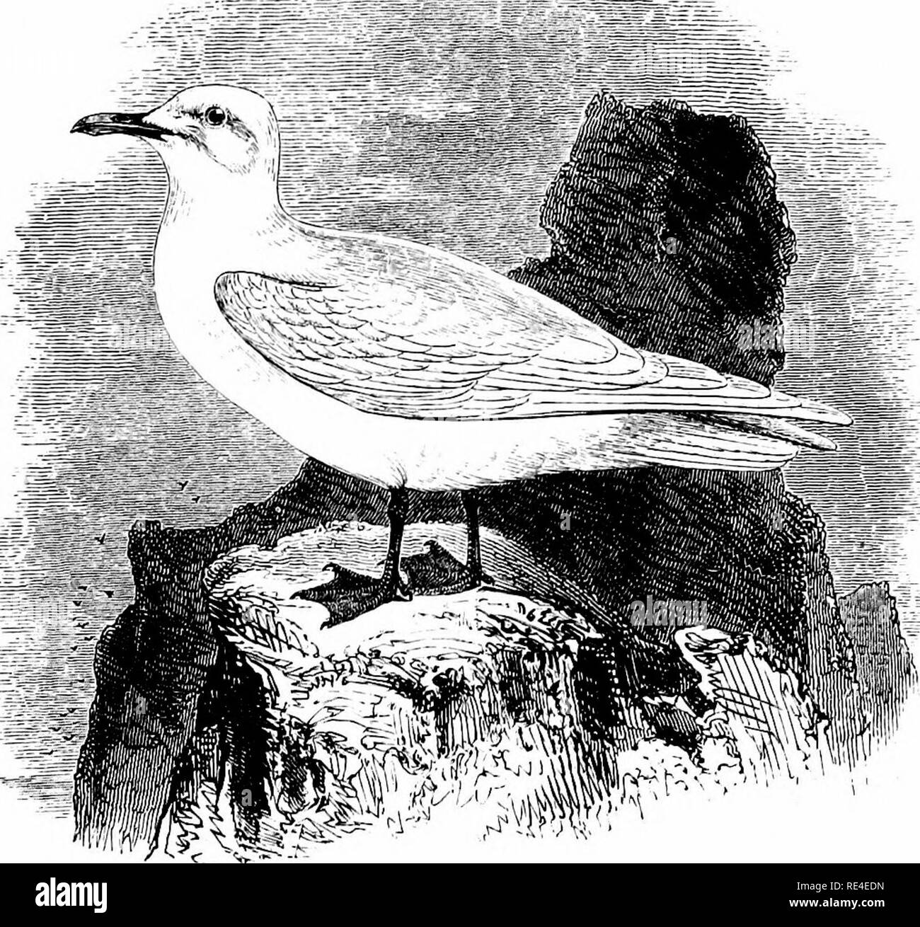 . An illustrated manual of British birds. Birds. LARID^. 685. THE IVORY GULL. Pagophila eburnea (Phipps). The first recorded British specimen of this truly Arctic Gull was obtained by the late Dr. Lawrence Edmonston during the winter of 1822, in the Shetland Islands, where this species has subsequently been met with on several occasions. Four examples have been re- corded from the Orkneys, one of them as late in spring as May; while the Outer Hebrides, Sutherland, Caithness, Banffshire and Aberdeenshire, and even Roxburghshire have been visited, and six or seven birds have been killed in south - Stock Image