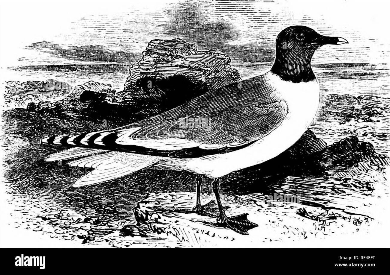 . An illustrated manual of British birds. Birds. LARIDJE. 6S7. t^^E SABINE'S GULL. X^MA SABfNii (Joseph Sabine). This small fork-tailed Gull is one of the species which were first recognized in the United Kingdom by Thompson, who de- scribed an immature example shot in Belfast Bay in September 1822. Since that date more than a dozen specimens have been taken in Ireland; while many others are on record from various counties of England and Wales, with a few from Scotland. All of them have occurred from August to December, and, with the exception of six in summer-plumage obtained or observed, res - Stock Image
