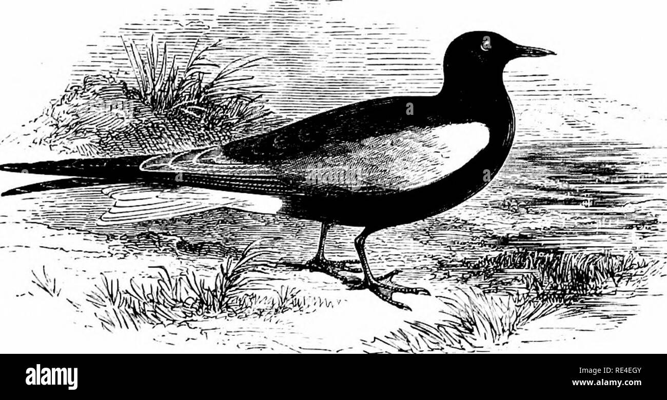 . An illustrated manual of British birds. Birds. LARID^. 635. THE WHITE-WINGED BLACK TERN. Hydrochelidon leuc6ptera (Schinz). This species, which has a more south-easterly habitat than the Black Tern, is an irregular visitor to our shores on migration, especially during May and June. In those months a good many examples have been obtained in Norfolk, while others have occurred on the coasts of Sussex, Hants, Dorset, Cornwall and the Scilly Islands, northward in Yorkshire and Durham, and inland near Coventry. The first British specimen on record was, however, shot in Dublin Bay, in October 1841 - Stock Image