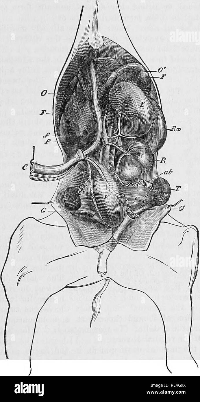 Male Genital Organs Stock Photos Male Genital Organs Stock Images