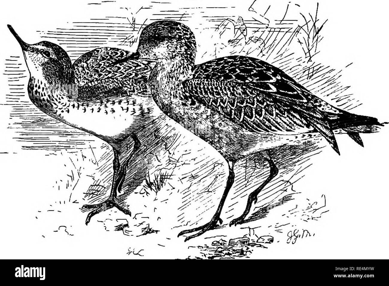 . The geographical distribution of the family Charadriidae, or, The plovers, sandpipers, snipes, and their allies . Shore birds. Geographi- cal distribu- tion. 422 TEIXGA. The breeding-grounds of the Japanese Knot are unknown, but Middendorff observed it during the whole summer on the southern shores of the Sea of Olchotsk, though he obtained no evidence of its nesting there. It has occurred on migration in the valley of the Ussuri, on the coasts of Japan and China, and on most of the islands of the Malay Archipelago. It winters on the coasts of Australia, has occurred on the Andaman Islands,  - Stock Image