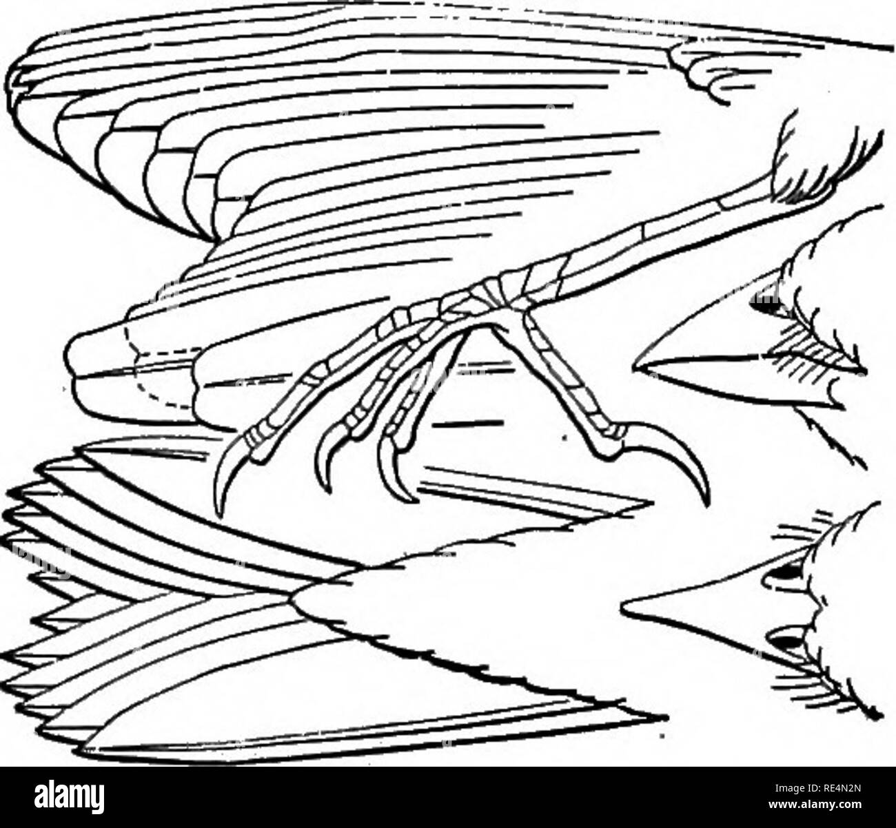 . A manual of North American birds. Birds. 4. Ammodramus (Centronyx) bairdii. 5. Ammodramus (Coturniculusj passerinus.. Please note that these images are extracted from scanned page images that may have been digitally enhanced for readability - coloration and appearance of these illustrations may not perfectly resemble the original work.. Ridgway, Robert, 1850-1929. Philadelphia, J. B. Lippincott Company - Stock Image