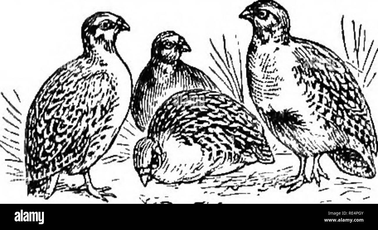 Partridge Bird Black and White Stock Photos & Images - Alamy