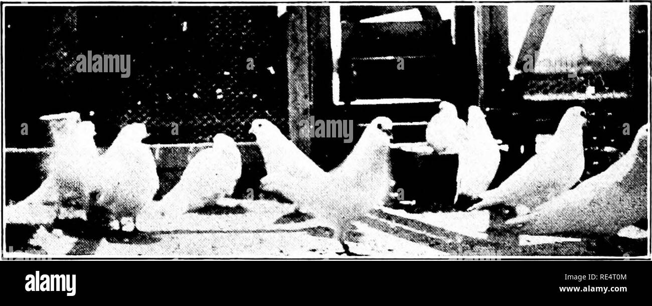 . Profitable pigeon breeding; a practical manual explaining how to breed pigeons successfully,--whether as a hobby or as an exclusive business. Pigeons. 102 PROFITABLE PIGEON BREEDING cause of many egg.s not hatching because the squabs are killed in tlie shell. It is true that lime is an absorbent of moisture anil the theory is advanced tliat the lime, being dusted about by the wings of the birds, falls on the eggs and absorbs the moisture from them and cements up the pores of the egg shells, ^^'e all know that the eggs are almost incessantly covered by the parent birds during incubation and t - Stock Image