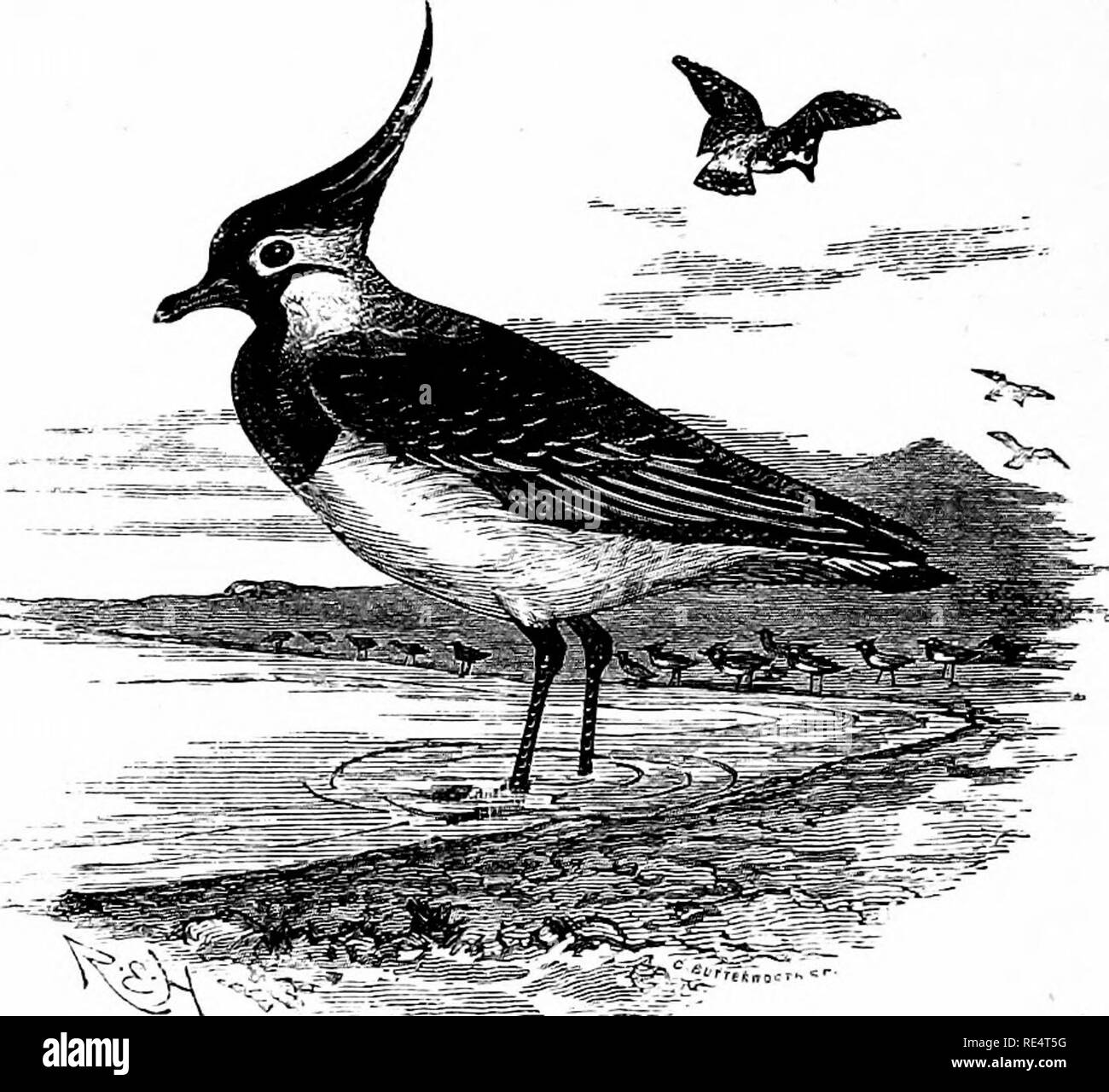 """. The birds of the Japanese Empire. Birds. 312 LIMICOLiE. The breeding-range of the Grey-headed Wattled Lapwing extends westwards from Japan across North China to South-east Mongolia. As it is not known to have occurred either in Siberia or Yezzo it is fair to assume that it found its way to Southern Japan via Formosa or the Corea. 312. VANELLUS CRISTATUS. (COMMON LAPWING.) VanellKS cristatus, """"Wolf and Meyer, 'Vog. Deutschland, ii. p. 110 (1805). The Common Lapwing has both the upper and under tail-coverts of a chestnut-buff colour.. Vanellus eristatim. Figures : Dresser, Birds of Europe - Stock Image"""